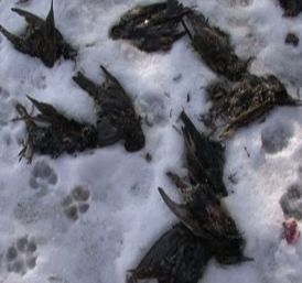 Fenomenul pasarilor moarte se manifesta si la Constanta