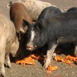 ORIBIL!! Un italian și-a hrănit porcii cu cadavrul soției, de origine română